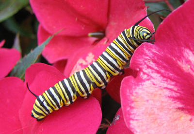 caterpillar pictures, butterfly pictures, butterflies picture