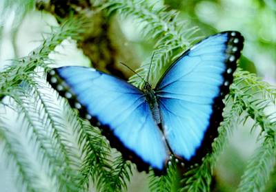 Blue Morpho Butterfly picture and article all about the Blue Morpho butterfly habitat, size, facts, what they eat and more.