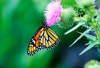 butterfly picture, butterfly pictures