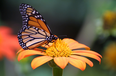 butterfly pictures, butterflies picture