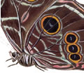 """Eyespots"" on the underside of a Blue Morpho's wings."